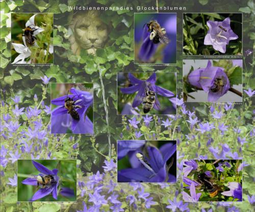 16 - Wildbienenparadies Glockenblumen