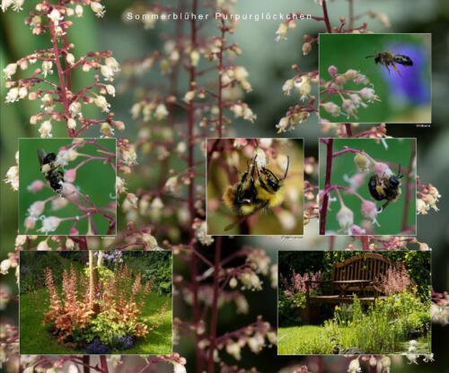 18 - Sommerblüher Purpurglöckchen