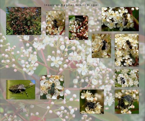 25 - Insektenmagnet Glanzmispel