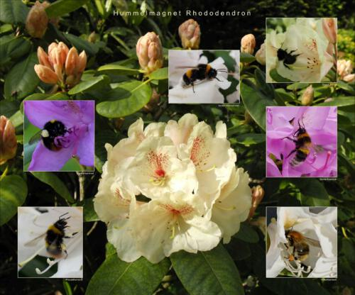 27 - Hummelmagnet Rhododendron
